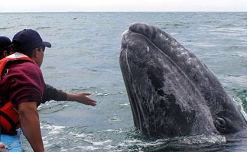 Touch a whale in Baja