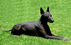 Xoloitzcuintli The Mexican Hairless Dog