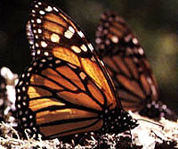 Monarch Butterfly of Michoacan