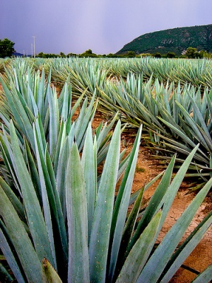 The Blue Agave of Tequila