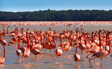 Flamingos in the Celestun Biosphere Reserve